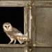 Kerkuil-Barn-Owl-19