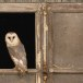 Kerkuil-Barn-Owl-20