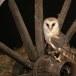 Kerkuil-Barn-Owl-21