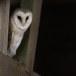 Kerkuil-Barn-Owl-22