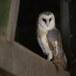 Kerkuil-Barn-Owl-23