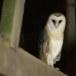 Kerkuil-Barn-Owl-24