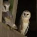 Kerkuil-Barn-Owl-25