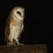 Kerkuil-Barn-Owl-27