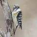 Kizukispecht -  Japanese pygmy woodpecker 01