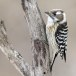 Kizukispecht -  Japanese pygmy woodpecker 02