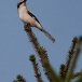 klapekster-northern-grey-shrike-02