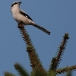 klapekster-northern-grey-shrike-03