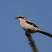 klapekster-northern-grey-shrike-04