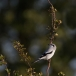 klapekster-northern-grey-shrike-05