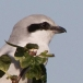 klapekster-northern-grey-shrike-06