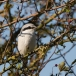 klapekster-northern-grey-shrike-07