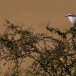 klapekster-northern-grey-shrike-08