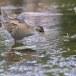 Klein-waterhoen-Little-Crake-09