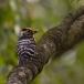 kleine-bonte-specht-lesser-spotted-woodpecker-01