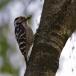 kleine-bonte-specht-lesser-spotted-woodpecker-02