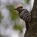 kleine-bonte-specht-lesser-spotted-woodpecker-03
