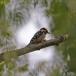 kleine-bonte-specht-lesser-spotted-woodpecker-04