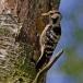 kleine-bonte-specht-lesser-spotted-woodpecker-05