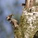 kleine-bonte-specht-lesser-spotted-woodpecker-06