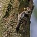 kleine-bonte-specht-lesser-spotted-woodpecker-07