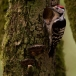 kleine-bonte-specht-lesser-spotted-woodpecker-09