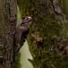 kleine-bonte-specht-lesser-spotted-woodpecker-10