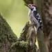 kleine-bonte-specht-lesser-spotted-woodpecker-11