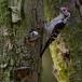 kleine-bonte-specht-lesser-spotted-woodpecker-12