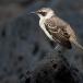 kleine-galapagosspotlijster-galapagos-mochingbird-01