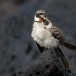 kleine-galapagosspotlijster-galapagos-mochingbird-02
