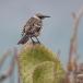 kleine-galapagosspotlijster-galapagos-mochingbird-04