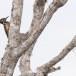 Kleine-goudrugspecht-Black-rumped-flameback-01