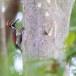 Kleine-goudrugspecht-Black-rumped-flameback-03