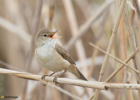 Kleine karekiet - Reed Warbler 06