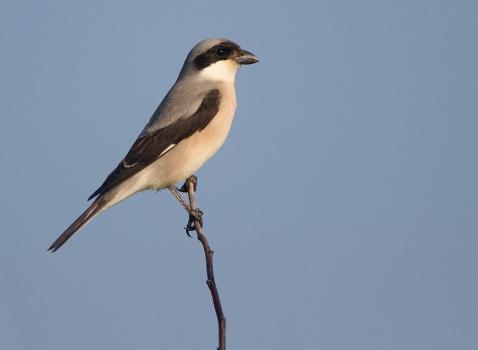 kleine-klapekster-lesser-grey-shrike-01