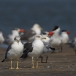 kleine-mantelmeeuw-lesser-black-backed-gull-01