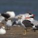 kleine-mantelmeeuw-lesser-black-backed-gull-02