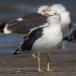 kleine-mantelmeeuw-lesser-black-backed-gull-03