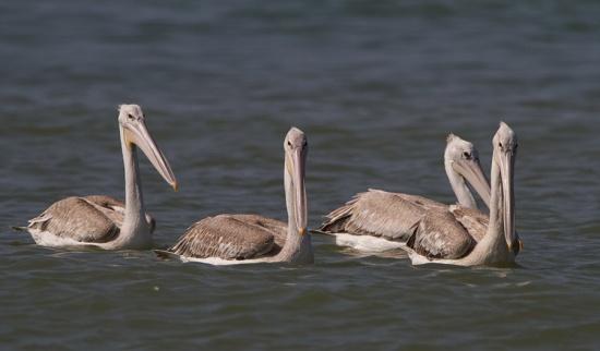 kleine-pelikaan-pink-backed-pelican-04