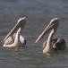 kleine-pelikaan-pink-backed-pelican-02