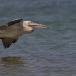 kleine-pelikaan-pink-backed-pelican-05