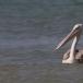 kleine-pelikaan-pink-backed-pelican-11