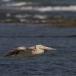 kleine-pelikaan-pink-backed-pelican-12