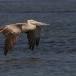 kleine-pelikaan-pink-backed-pelican-13