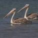 kleine-pelikaan-pink-backed-pelican-14