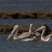 kleine-pelikaan-pink-backed-pelican-16