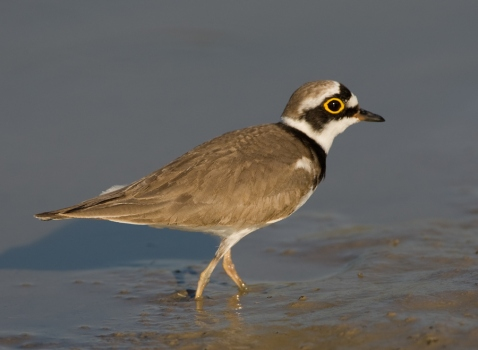 kleine-plevier-little-ringed-plover-03