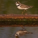 kleine-plevier-little-ringed-plover-01