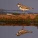kleine-plevier-little-ringed-plover-02